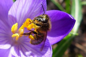 picture of bee on crocus